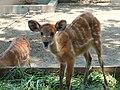Sitatunga Tragelaphus spekii Surabaya Zoo.JPG