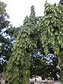 Sivan-Park-Nizhal-Tree-Walk-Indian-Ashoka-Tree.JPG
