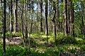 Skulyn Kovelskyi Volynska-Voloha sudibrova nature monument-view in forest.jpg
