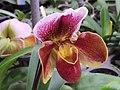 Slipper orchid 拖鞋蘭 - panoramio.jpg