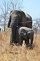 Slonice s mládětem - panoramio.jpg