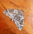 Small Phoenix - Flickr - gailhampshire.jpg