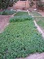 Small garden of Vegetables - Nishapur 4.JPG