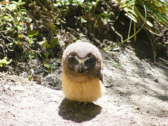 Small owl on trail.jpg
