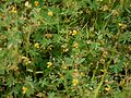 Smithia bigemina Dalzell (6230520882).jpg