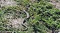 Snake in Grass.jpg