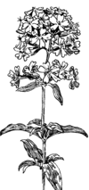 Soapwort (PSF).png