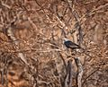 Socotran Starling (f)..jpg