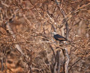 Socotra starling - Image: Socotran Starling (f)