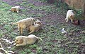 Soft puppies - geograph.org.uk - 471505.jpg