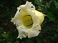 Solandra longiflora (young flower).jpg