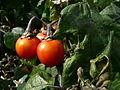 SolanumGiloJapaneseBlackStem950.jpg