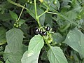 Solanum nigrum - Black Nightshade at Periya (4).jpg