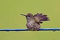 Sombre Hummingbird, Serra dos Tucanos, Brazil (14358956323).jpg