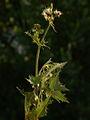 Sonchus oleraceus PID1701-3.jpg