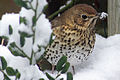 Song Thrush (Turdus philomelos) In Snow.jpg