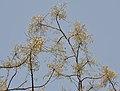Sonjna (Moringa oleifera) flowering at canopy at Narendrapur W IMG 4172.jpg