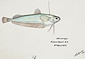 Southern Pacific fishes illustrations by F.E. Clarke 68.jpg