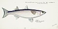 Southern Pacific fishes illustrations by F.E. Clarke 78.jpg