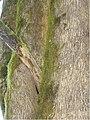 Spathodea campanulata 2.jpg