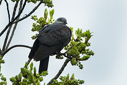 Speckled Wood-Pigeon - Bhutan S4E0663.jpg