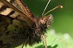 Speckled wood (Pararge aegeria) female 2 head.jpg