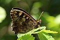 Speckled wood (Pararge aegeria) female underside 2.jpg