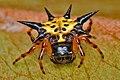 Spiny Orb Weaver Spider (Gasteracantha sp.) on a Dry Leaf.jpg