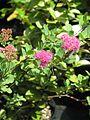 Spiraea splendens - Flickr - peganum.jpg