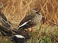 Spot-billed Duck Anas poecilorhynchamale by Dr. Raju Kasambe DSCN2834 (16).jpg