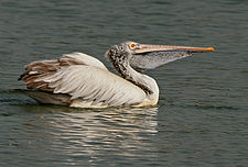 Spot-billed Pelican (Pelecanus philippensis) at Uppalapadu in AP W IMG 2831.jpg