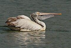240px spot billed pelican (pelecanus philippensis) at uppalapadu in ap w img 2831