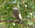 Spotted Flycatcher Muscicapa striata, Jimena, Andalucia, Spain (1).jpg