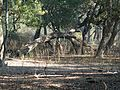 Spotted deer in Keoladeo National Park.jpg