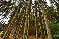 Spruce Forest Neroberg.jpg