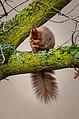 Squirrel in a tree - Frankfurter Grüngürtel.jpg