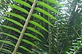 Sri Lanka, Plants in Peradeniya Botanical Gardens.jpg