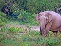 Sri Lankan Elephant1.jpg
