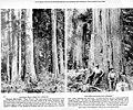 Stand of Western red cedar, ca 1922 (INDOCC 607).jpg