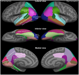 Standard anatomical parcellation of the posterior cortical surface.png