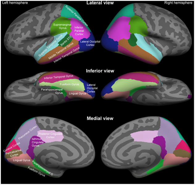 File:Standard anatomical parcellation of the posterior cortical surface.png
