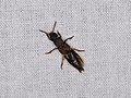 Staphylinoidea sp. (40324879724).jpg