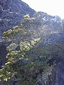 Starr-031001-0114-Metrosideros polymorpha-cliff habit-Waikau trail HNP-Maui (24044191574).jpg