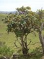 Starr-031111-0118-Bocconia frutescens-habit-Auwahi-Maui (24380019670).jpg