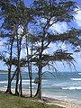 Starr-040711-0247-Casuarina equisetifolia-habit-Malaekahana-Oahu (24087315523).jpg