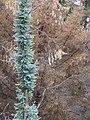 Starr-070908-9273-Eucalyptus globulus-rebounding after fire-Polipoli-Maui (24597449830).jpg