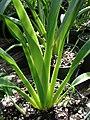 Starr-080117-1903-Dianella sandwicensis-habit-Home Depot Nursery Kahului-Maui (24605729630).jpg