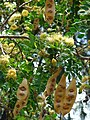 Starr-080531-4744-Albizia lebbeck-leaves flowers and seedpods-Midway Mall Sand Island-Midway Atoll (24615191230).jpg