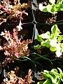 Starr-081031-0390-Lactuca sativa-red oak leaf lettuce-Makawao-Maui (24631209520).jpg