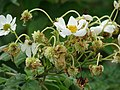 Starr-081230-0665-Montanoa hibiscifolia-flowers and seedheads-Upper Kaulana-Kahoolawe (24559616309).jpg